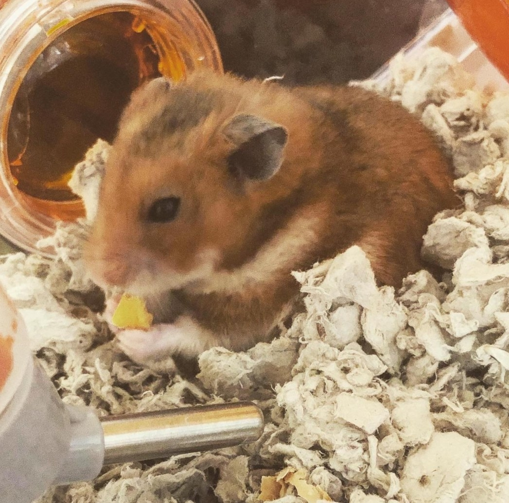 A hamster eating the Yogies treats in his cage