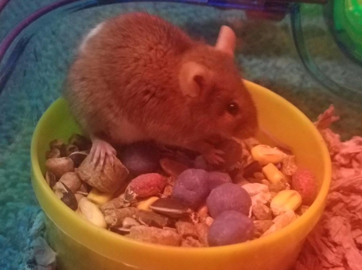 A rat inside of a bowl chewing on the blueberry treats