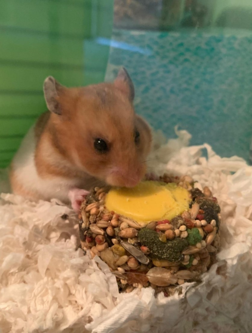 A brown and white hamster nibbling on the side of the disc-shaped treat
