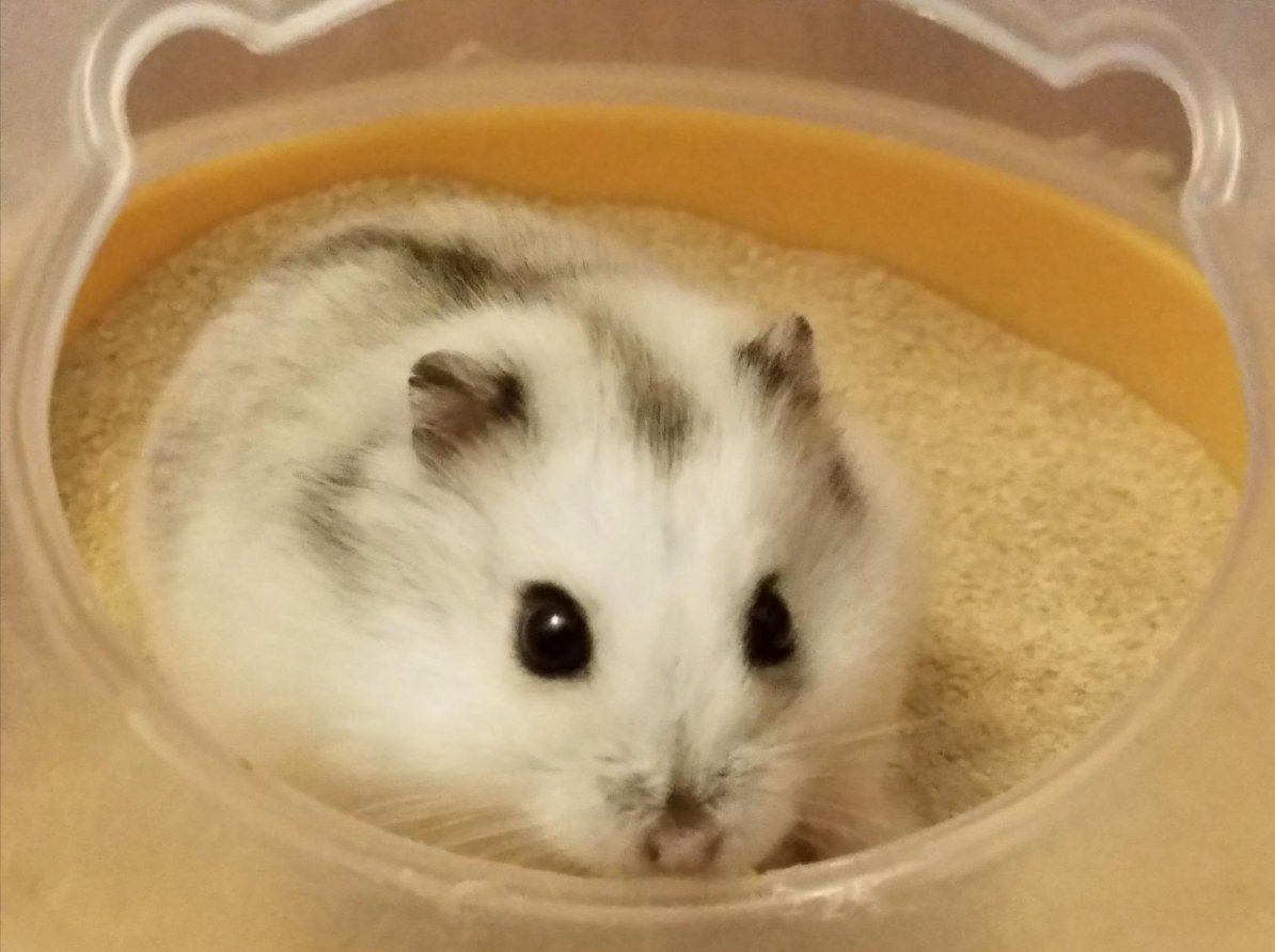 A white and gray hamster taking a bath in the sand