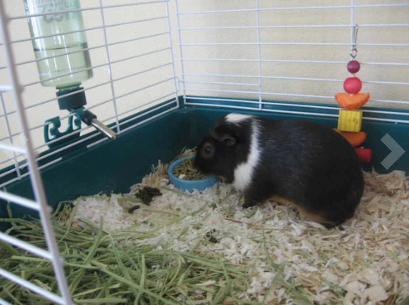 A black and white guinea pig eating the food out of a small bowl in its cage