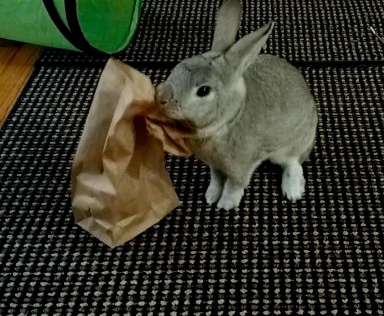 Rabbit trying to get into a bag of the food