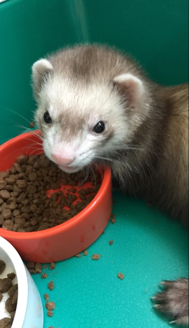 A ferret eating the food inside of its cage