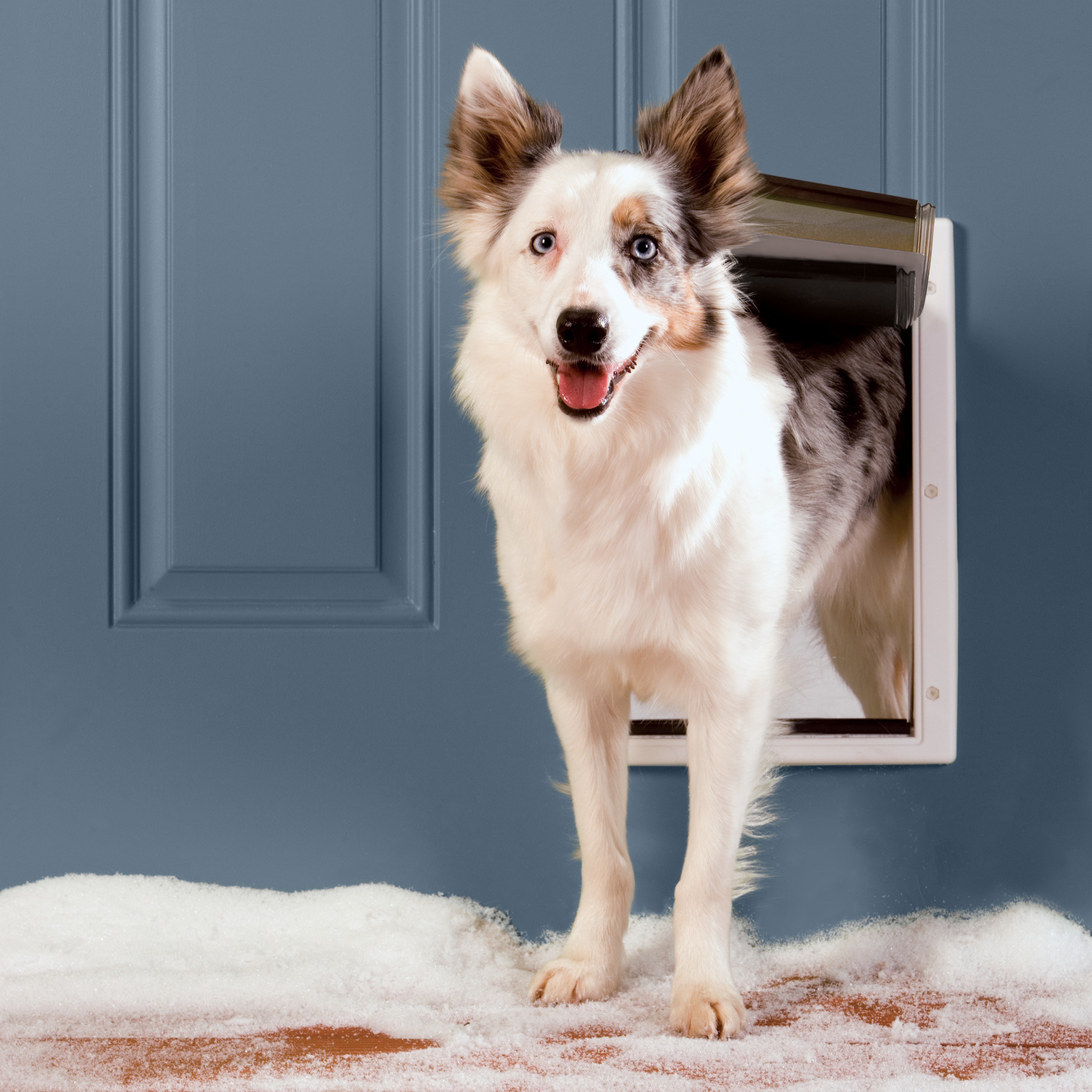 Dog sticking out of the weatherproof pet door with a white frame inside a blue front door