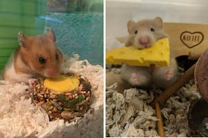 A hamster eating a circular treat and a hamster eating a cheese-shaped treat
