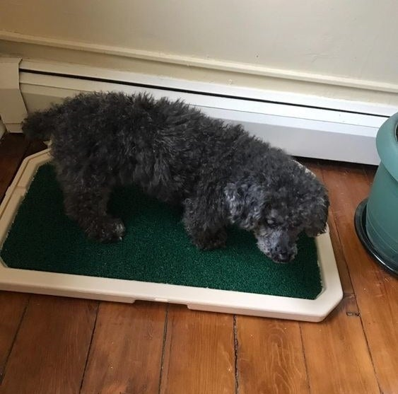 Dog using indoor grass patch