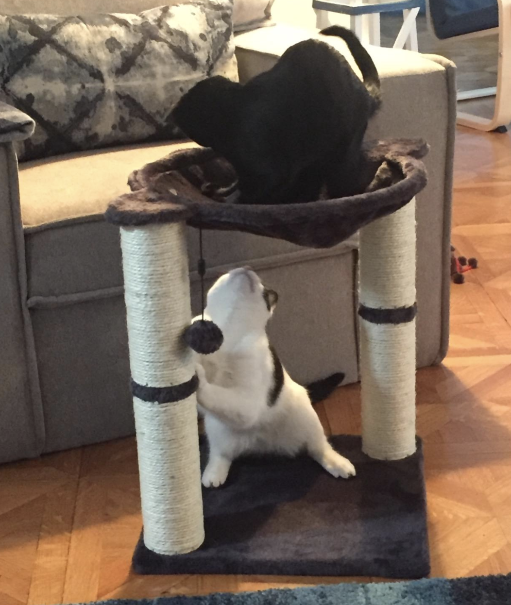 a white and a black cat sitting in the hammock of a cat tree that has two scratch posts and two pom poms