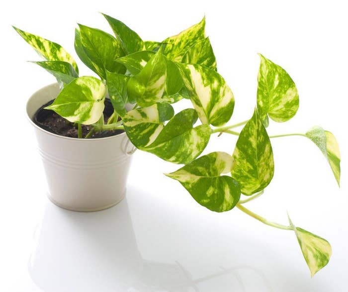A pothos plant with marble leaves