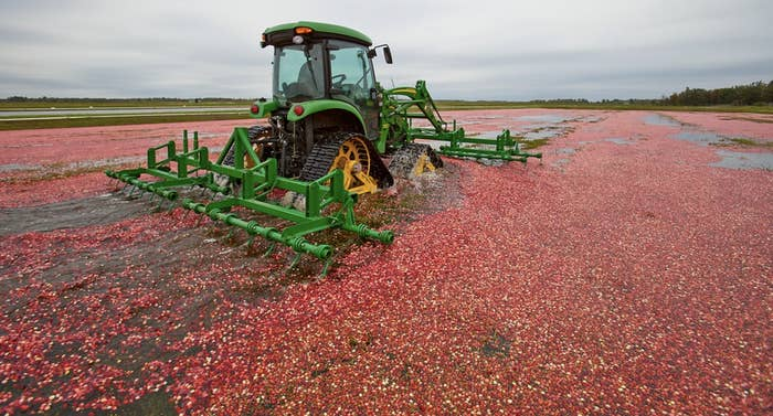 A cranberry marsh in Wisconsin