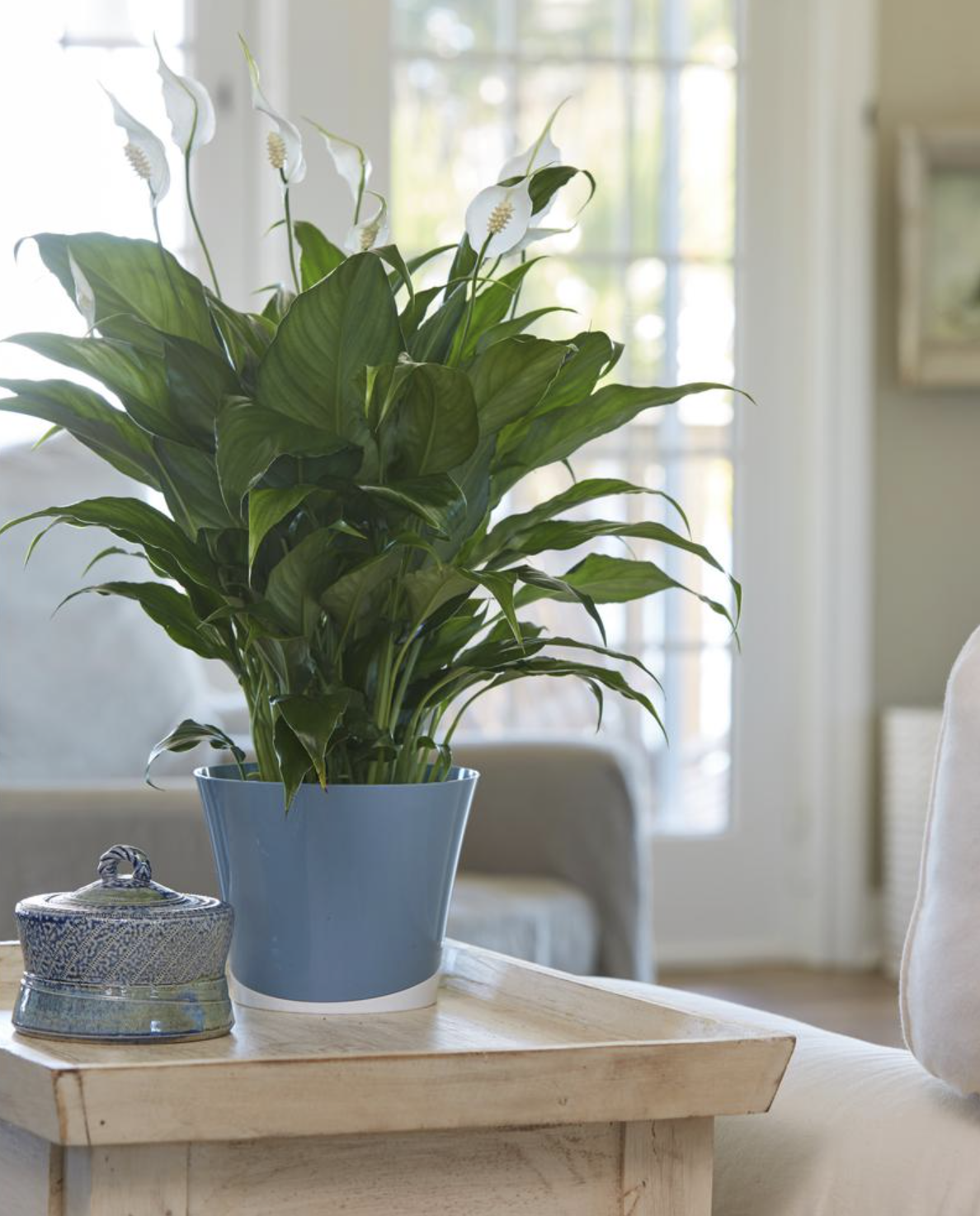A flowering Peace Lily sitting on a table. It has large leaves and white flowers