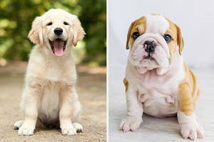 a lab and a bull dog puppy