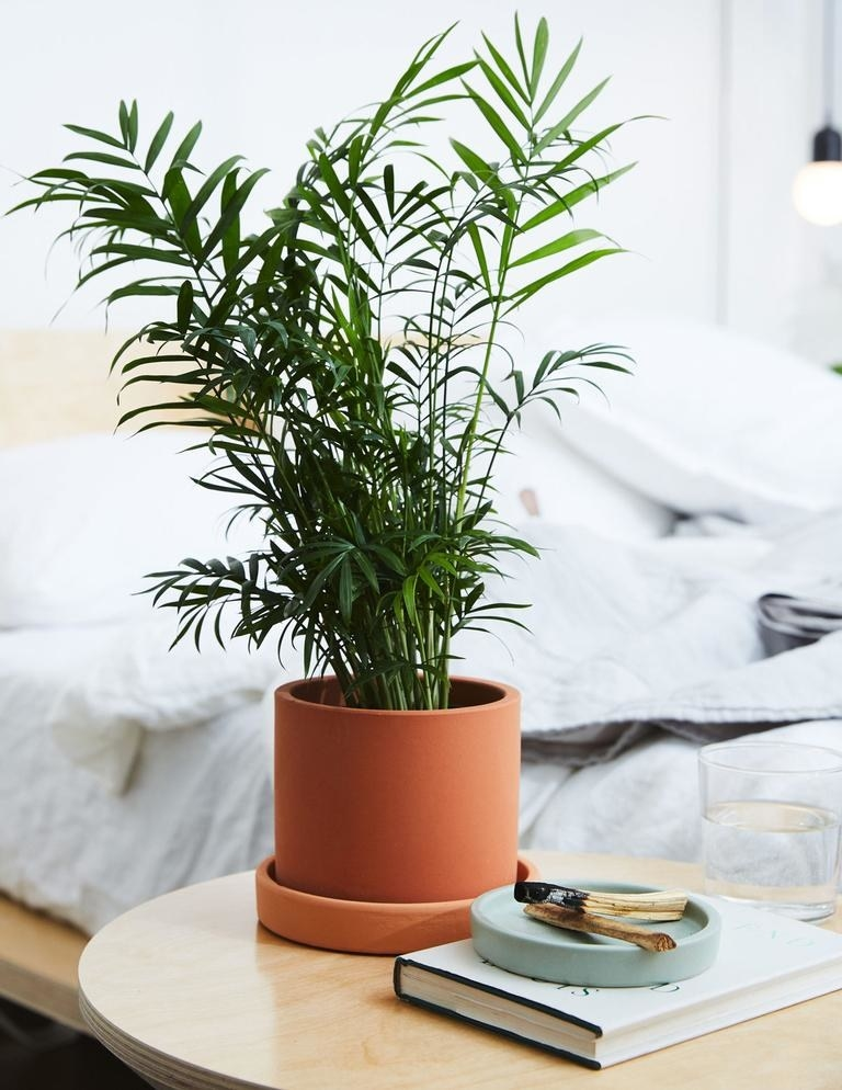 A parlor palm plant sitting on a table