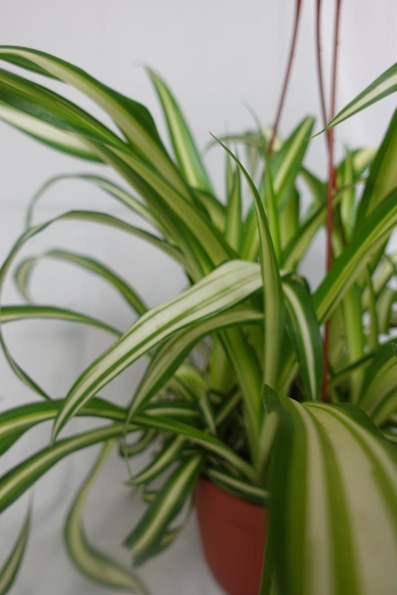 A close-up photo of Spider plant leaves
