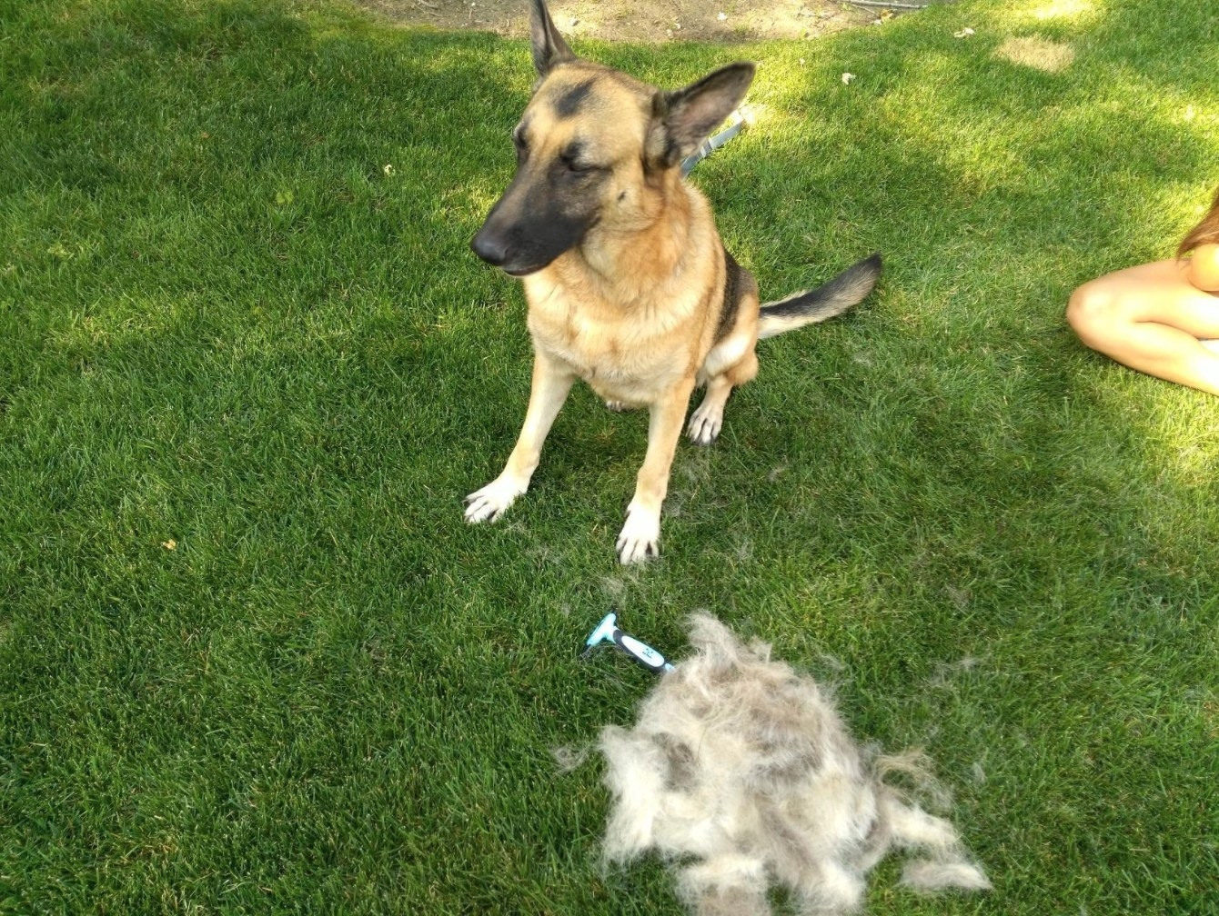 The pet grooming tool in blue on a lawn with a pile of hair