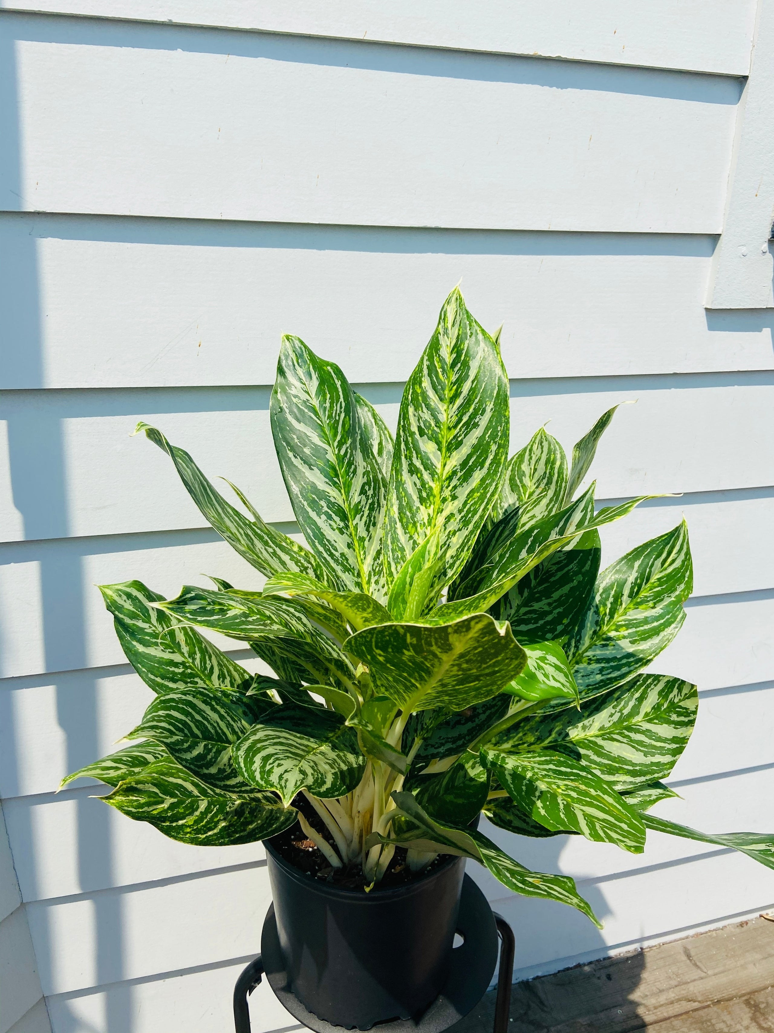 A Chinese Evergreen plant with lush foliage