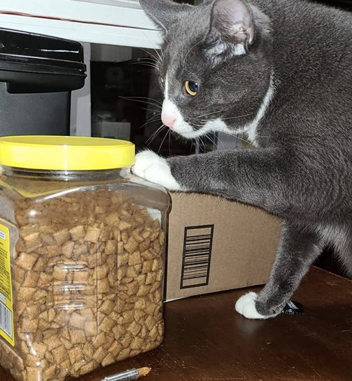 Cat is pawing a container of treats