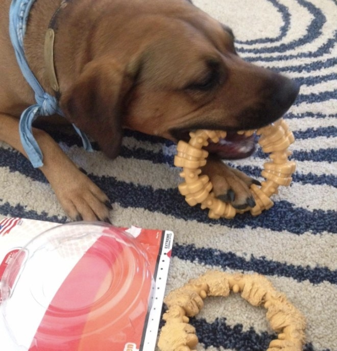 Dog is chewing chew toy