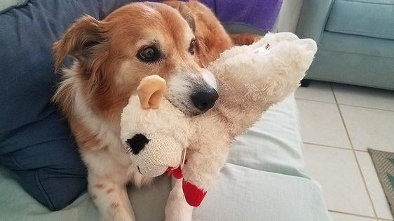 Reviewer's dog holding the toy