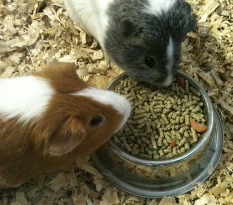 Two guinea pigs eating food from a bowl