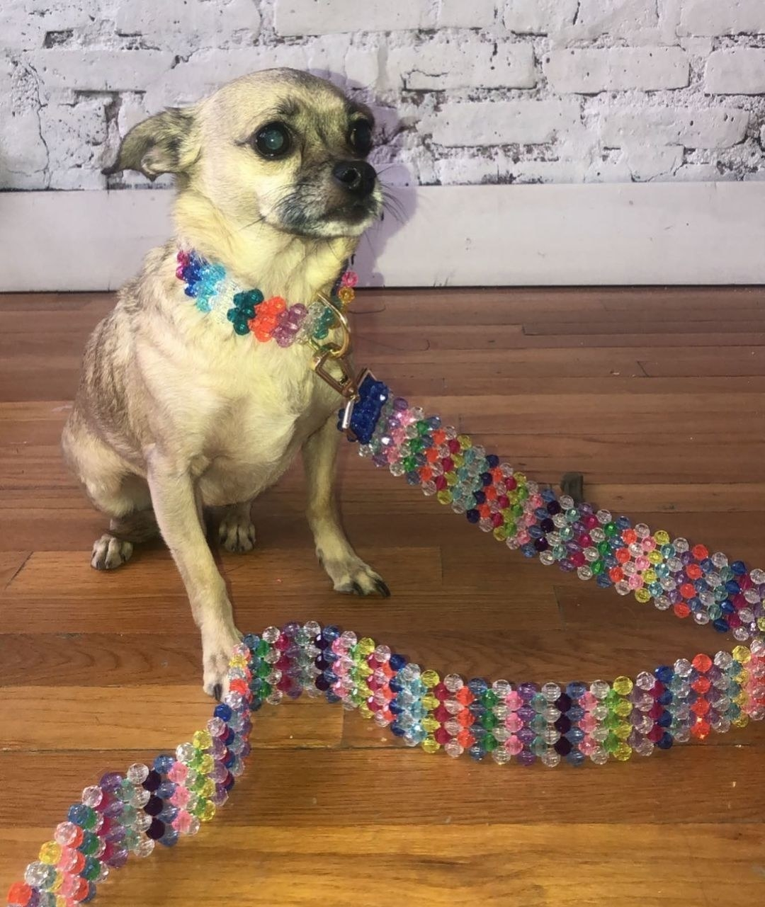 A chihuahua wearing a colorful beaded collar and matching leash