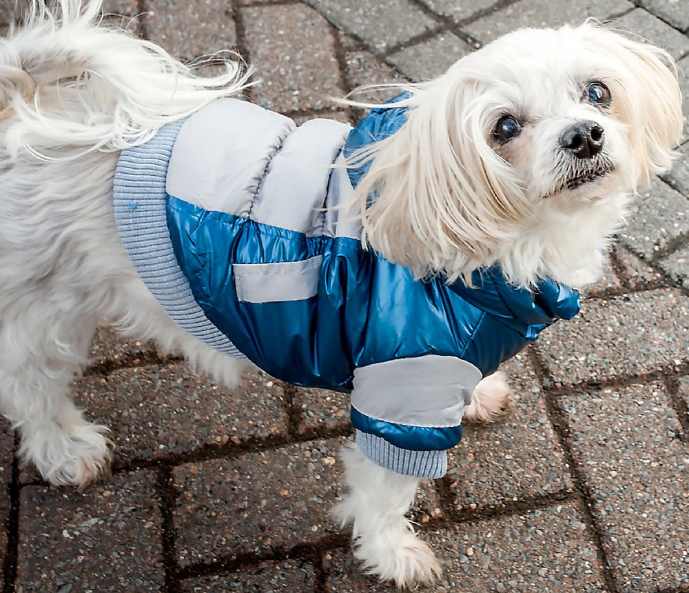 Dog wearing the ski jacket with blue and gray accents