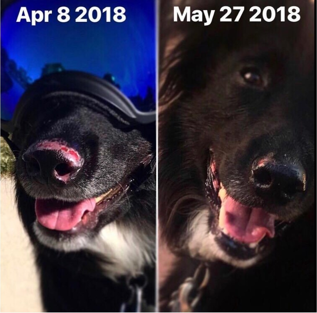 A dog with severe sunburn on its nose before using the sunscreen and the nose looking healed after using the sunscreen