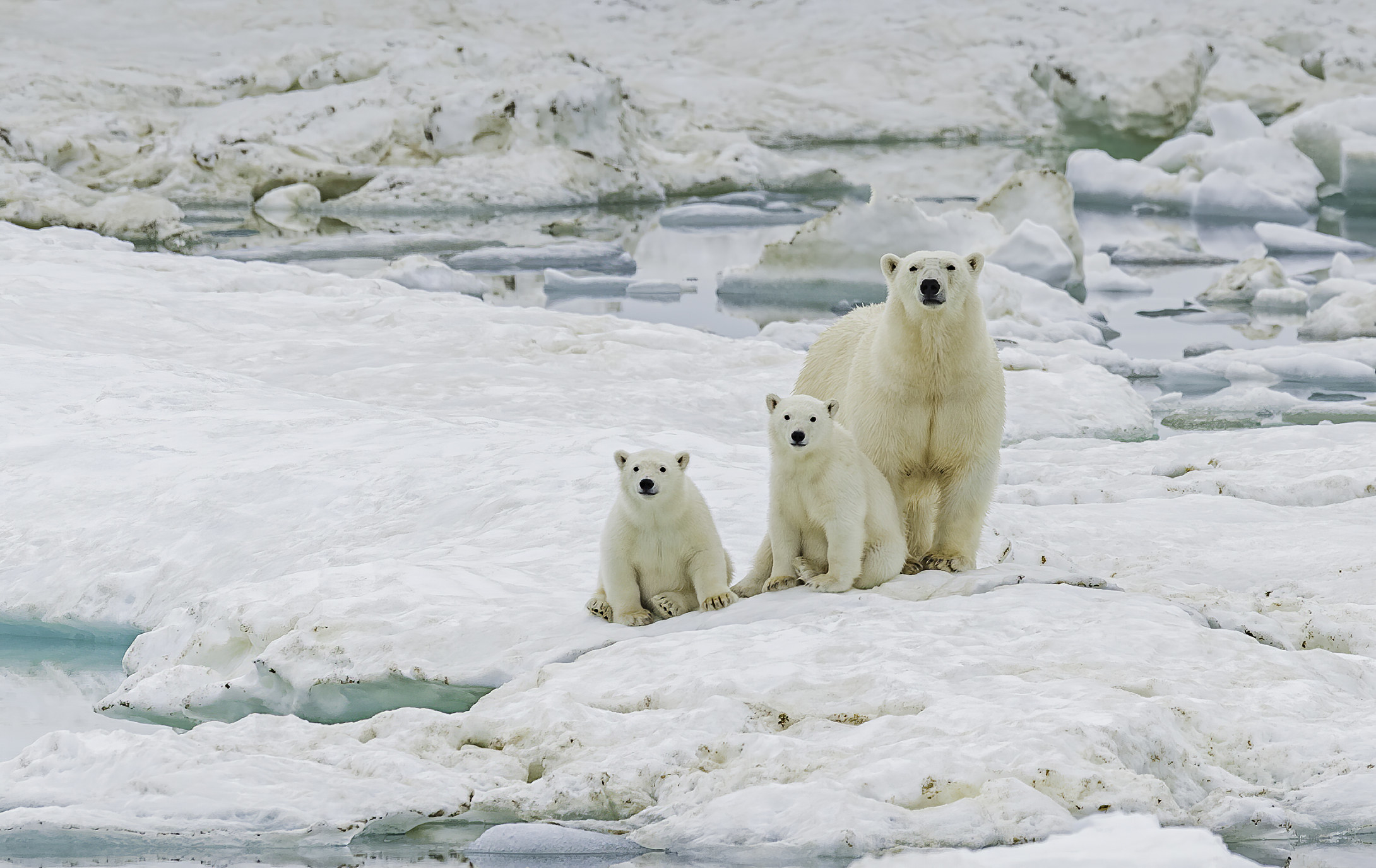 A mother and two young polar bear cubs on the snow