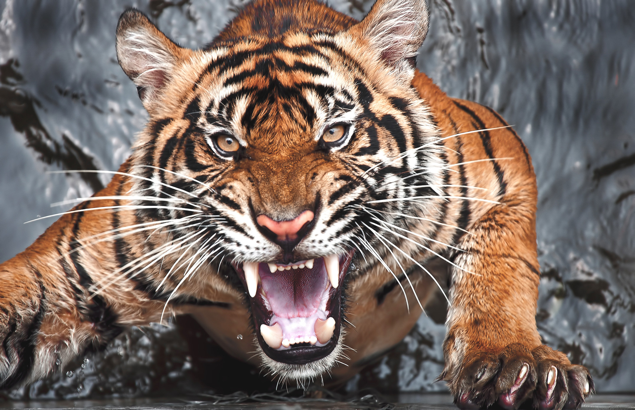 A tiger baring its teeth menacingly into the camera and climbing out of a pool of water