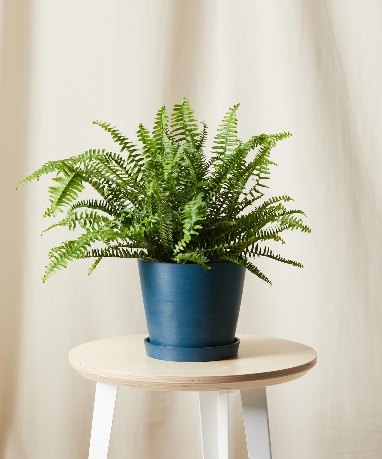 The fern in a blue pot