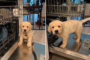 Labrador puppy standing in a dishwasher