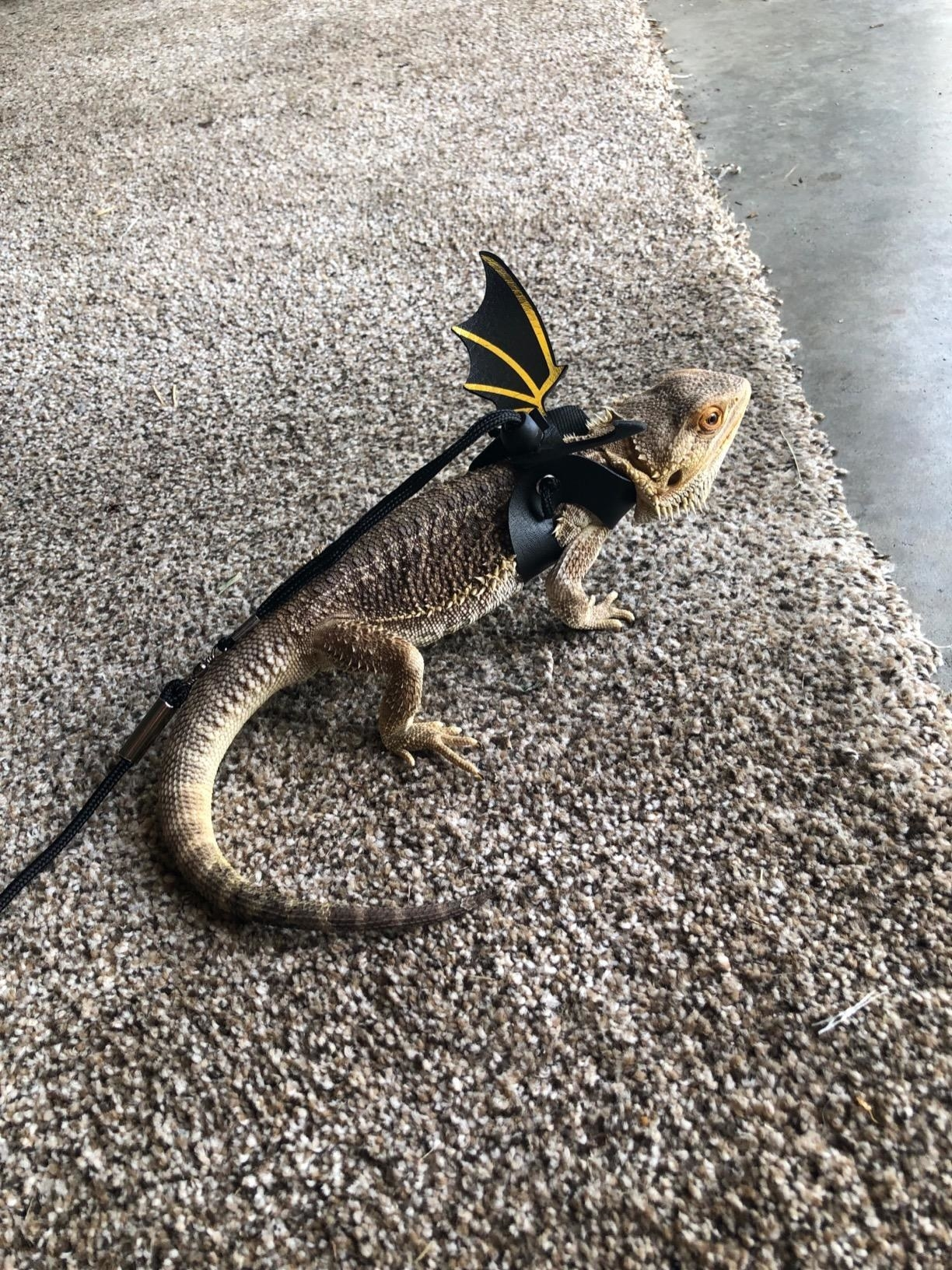 Small lizard wearing the black bat wings, which have gold details on them