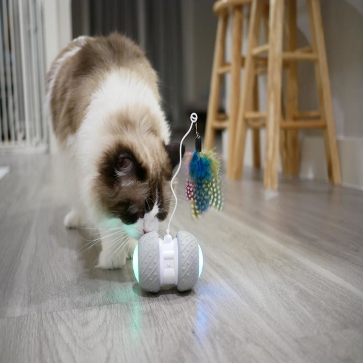 White and brown cat sniffing the toy