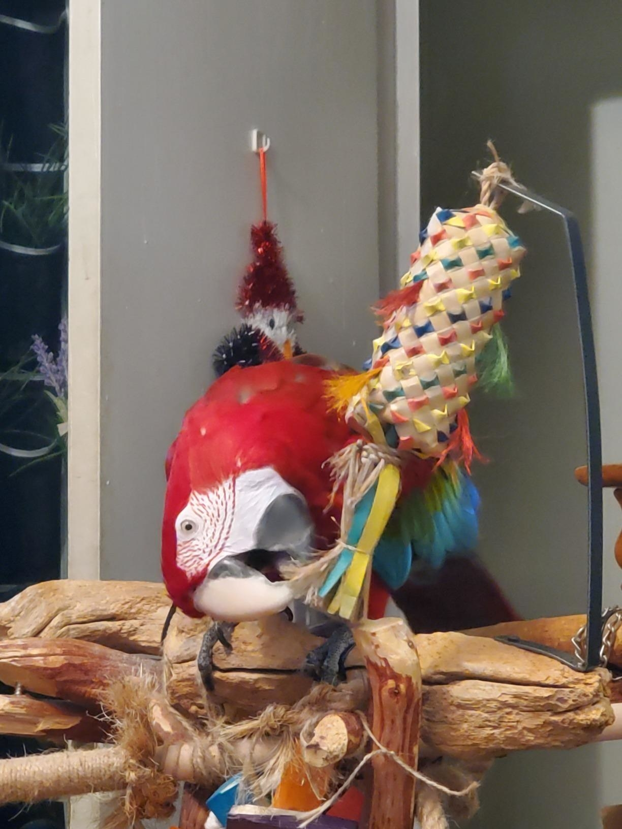 Reviewer's red macaw playing with the colorful strings at the bottom
