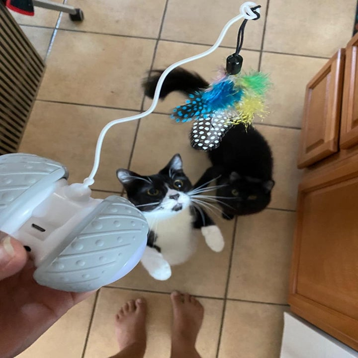A black and white cat on its hind legs sniffing the feather attachment