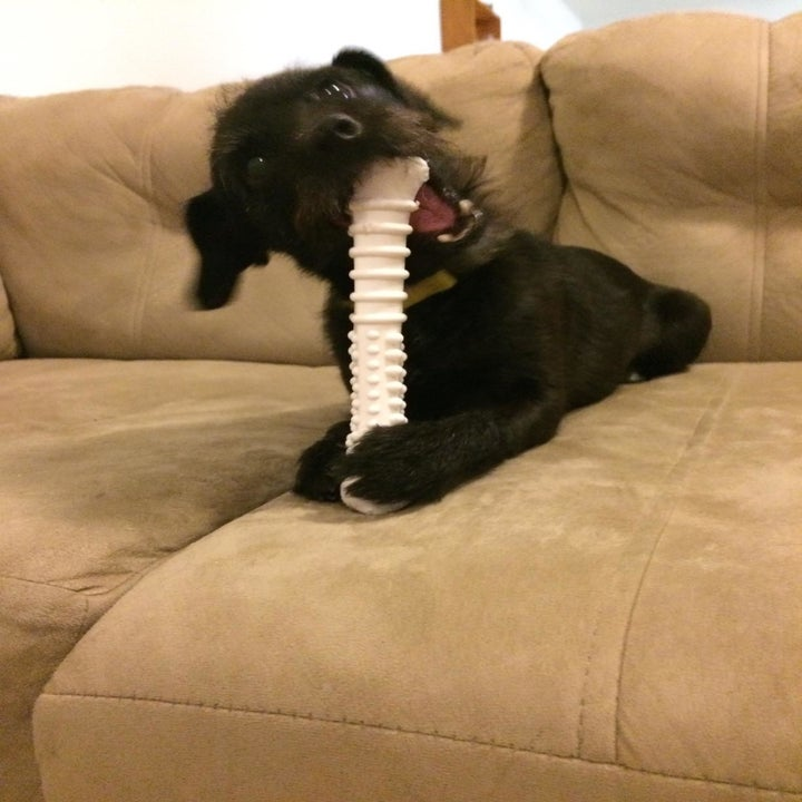 Small black dog chewing on the white toy