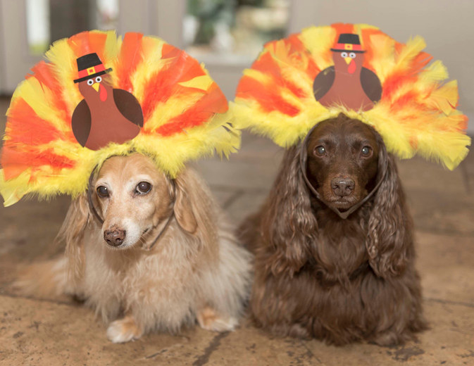 Two dachshunds wearing headbands that looks like a turkey. Photo taken inside. They are on a tiled floor.