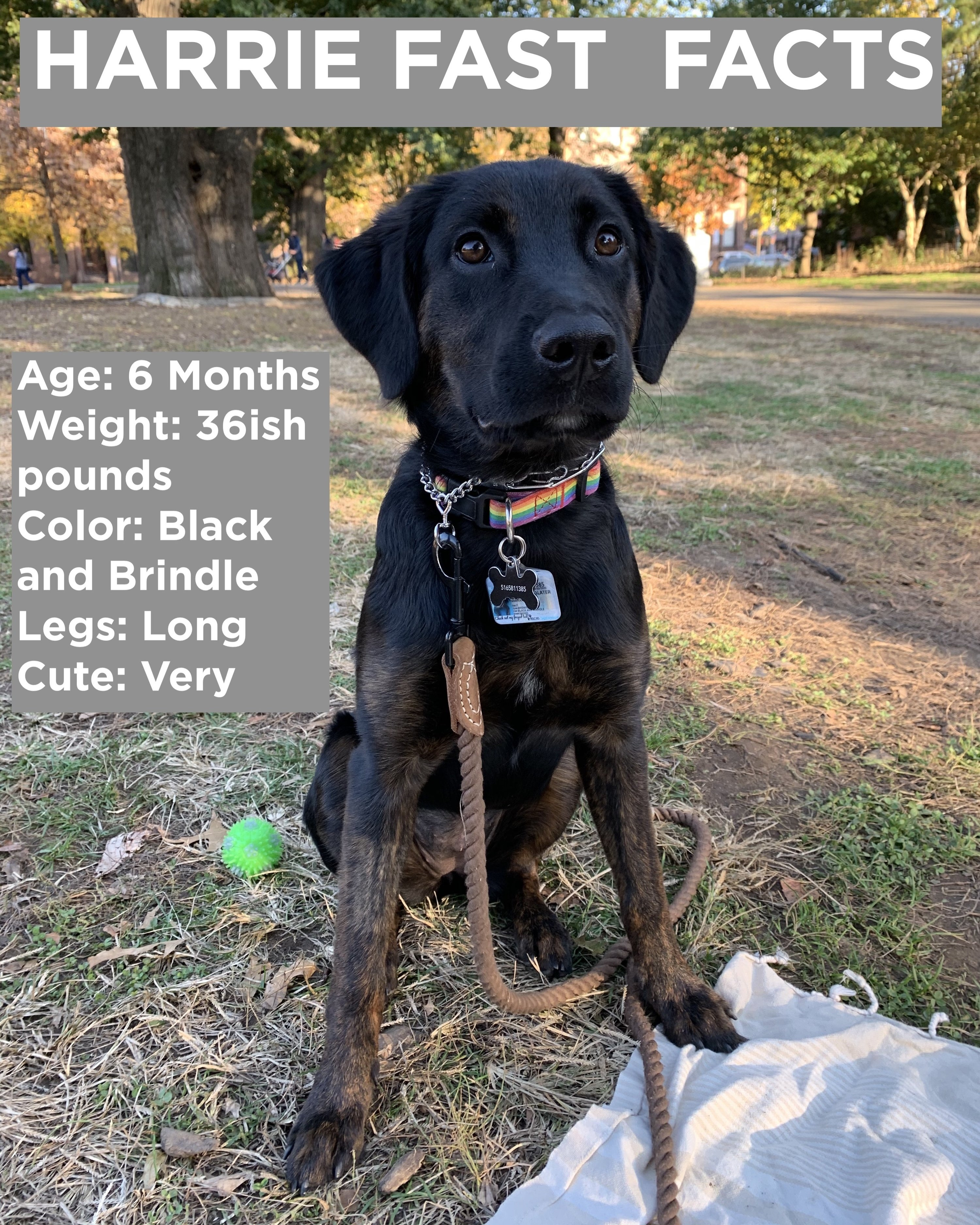 Picture of a black dog in the park and captions that say Harrie Fast facts, age 6 months, weight 36 pounds, color black and brindle, legs long, cute very