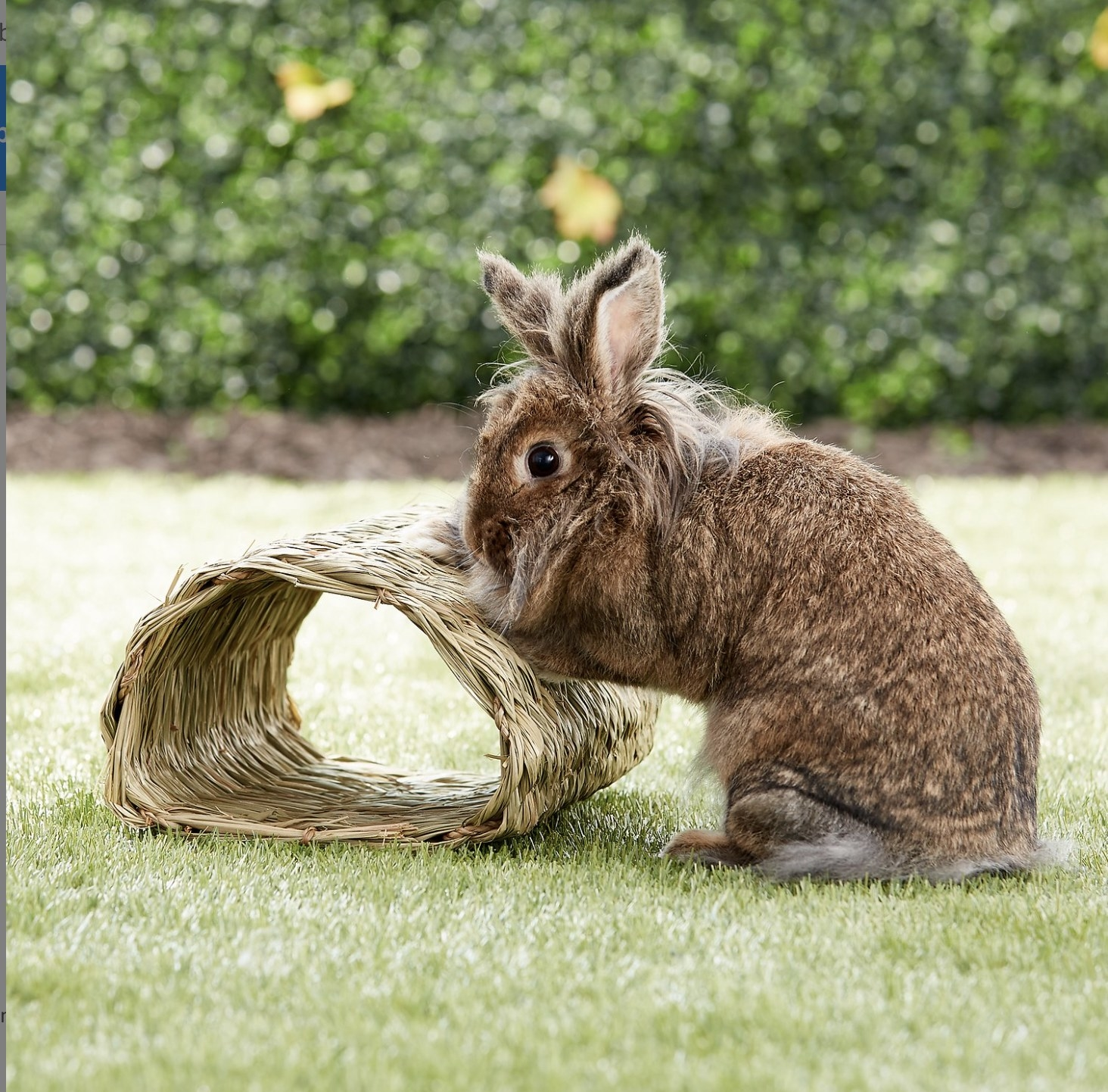 A rabbit playing with a tunnel hideout