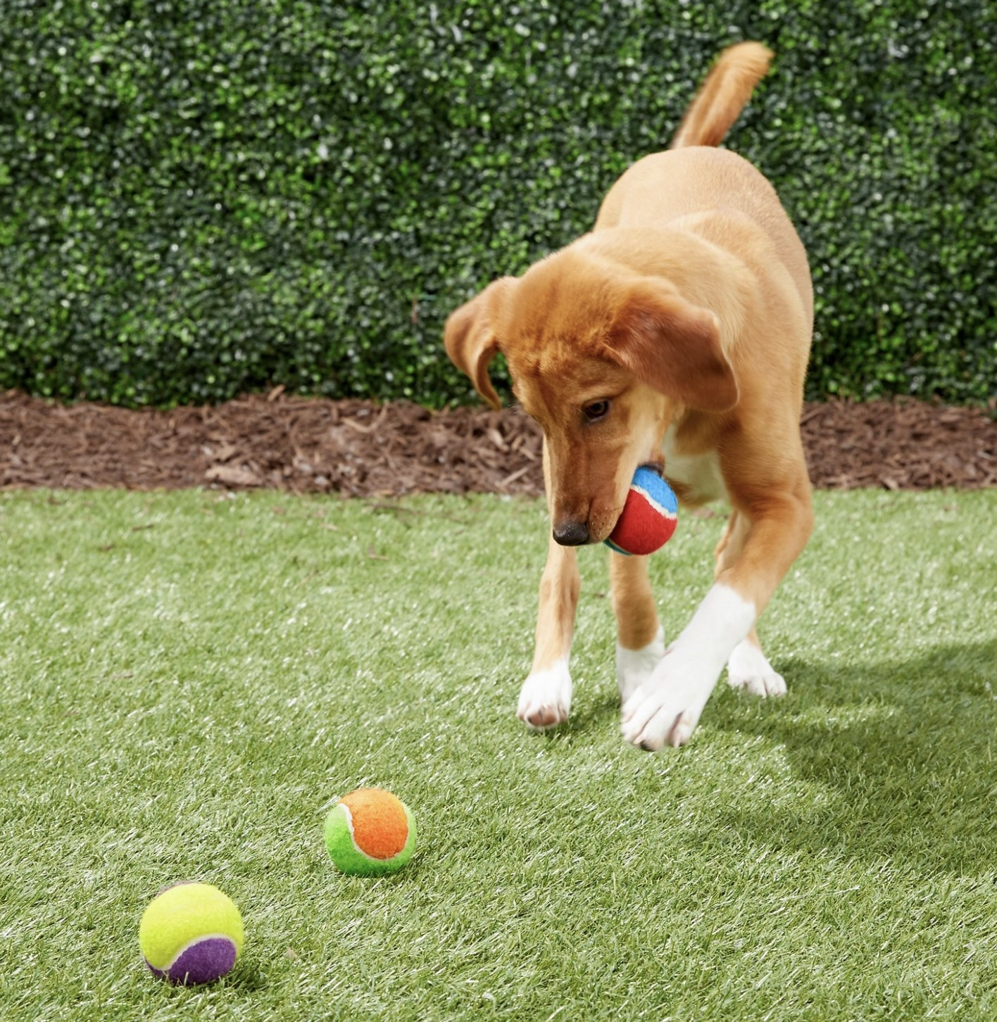 A dog is playing with three colorful tennis balls