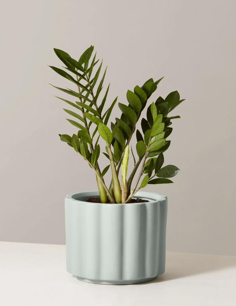 zz plant in a blue planter with rounded ridges