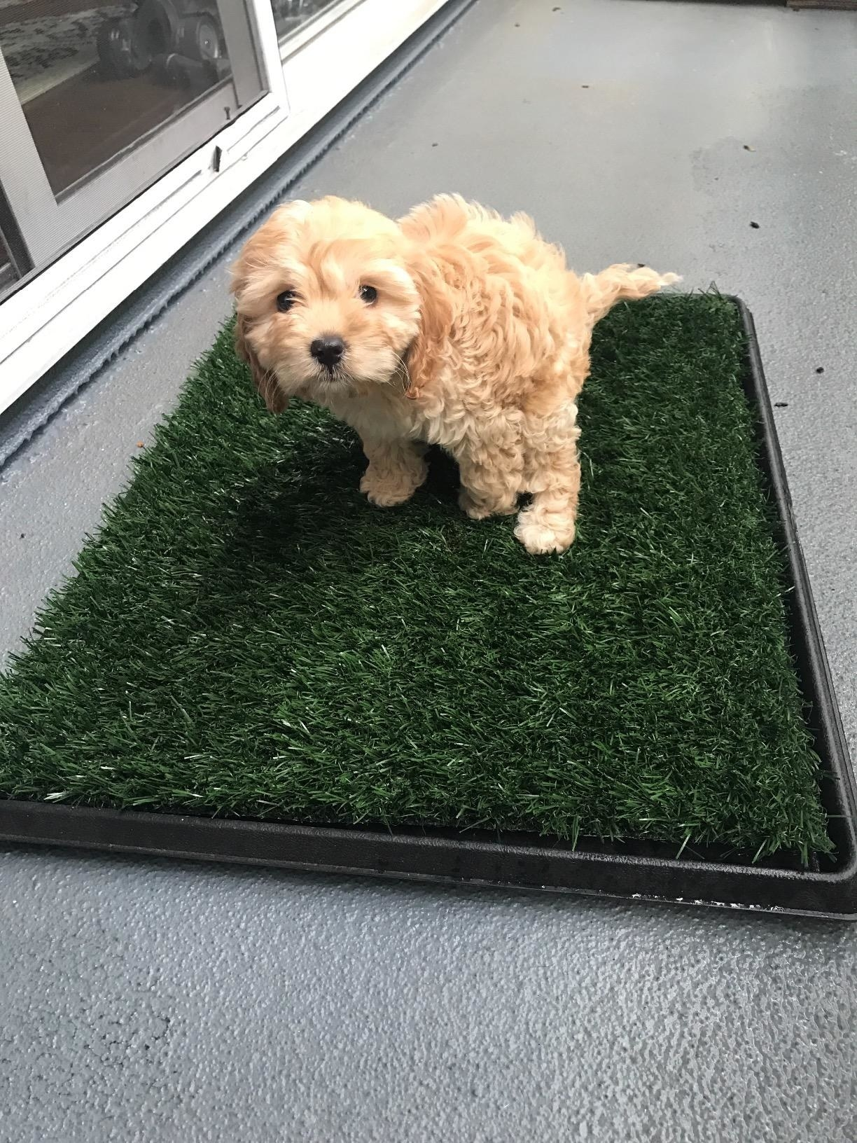 A puppy using the pad, which is square and covered in fake grass