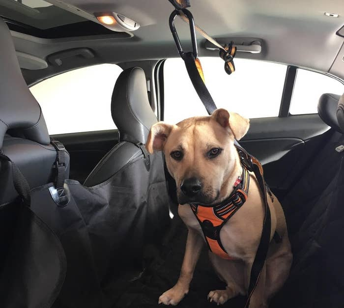 The seat belt securing a dog in place