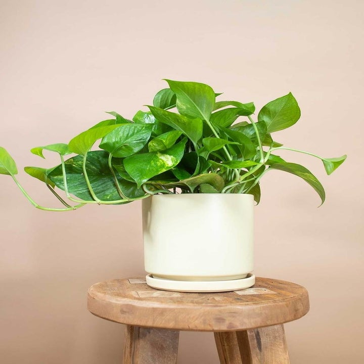 pothos plant with wide round green leaves in a white pot