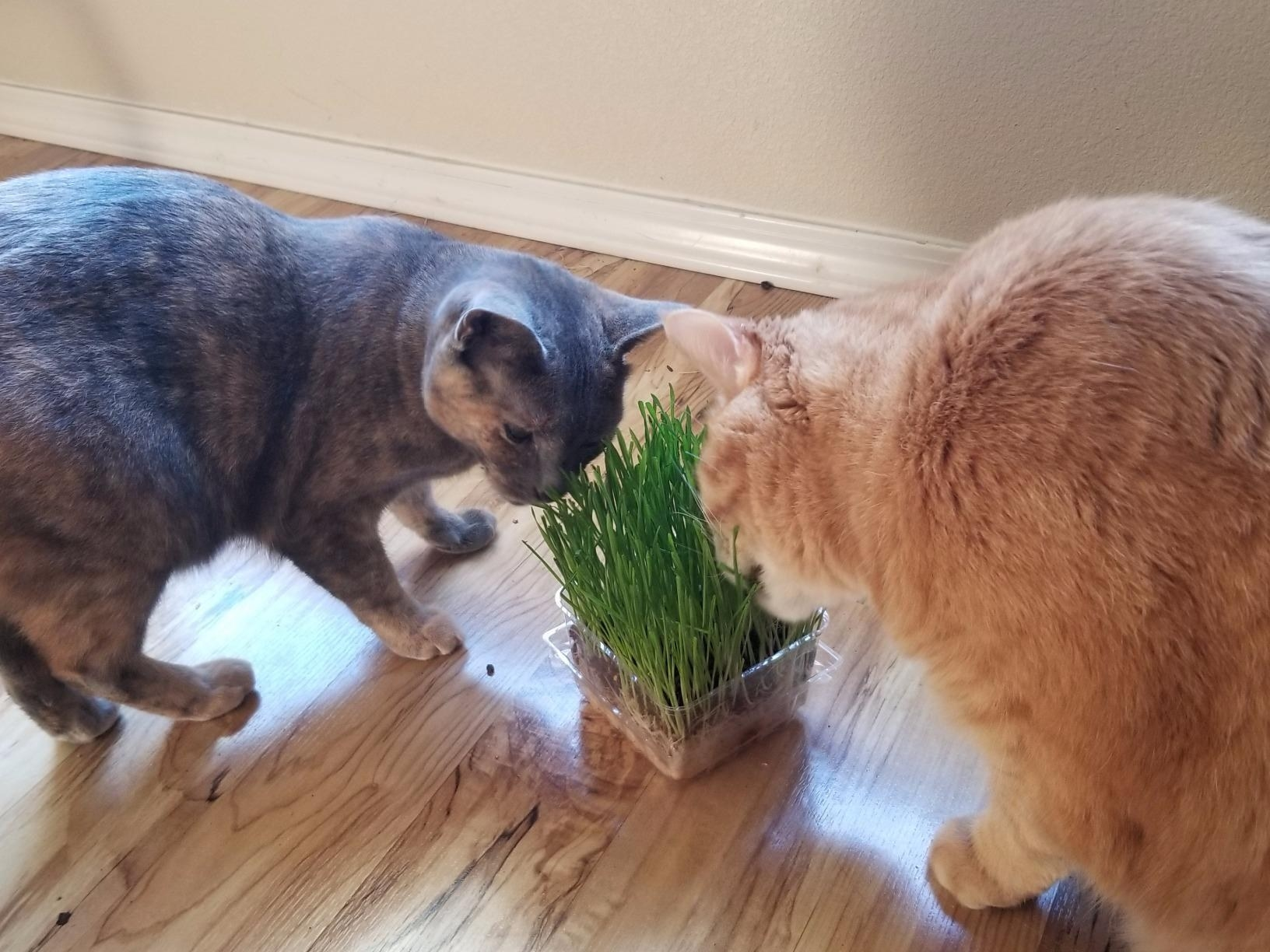The fully grown grass with two cats munching
