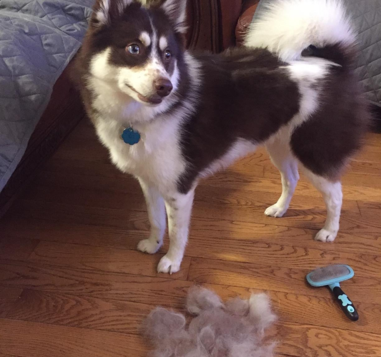 The brush next to a groomed dog and a lump of fur
