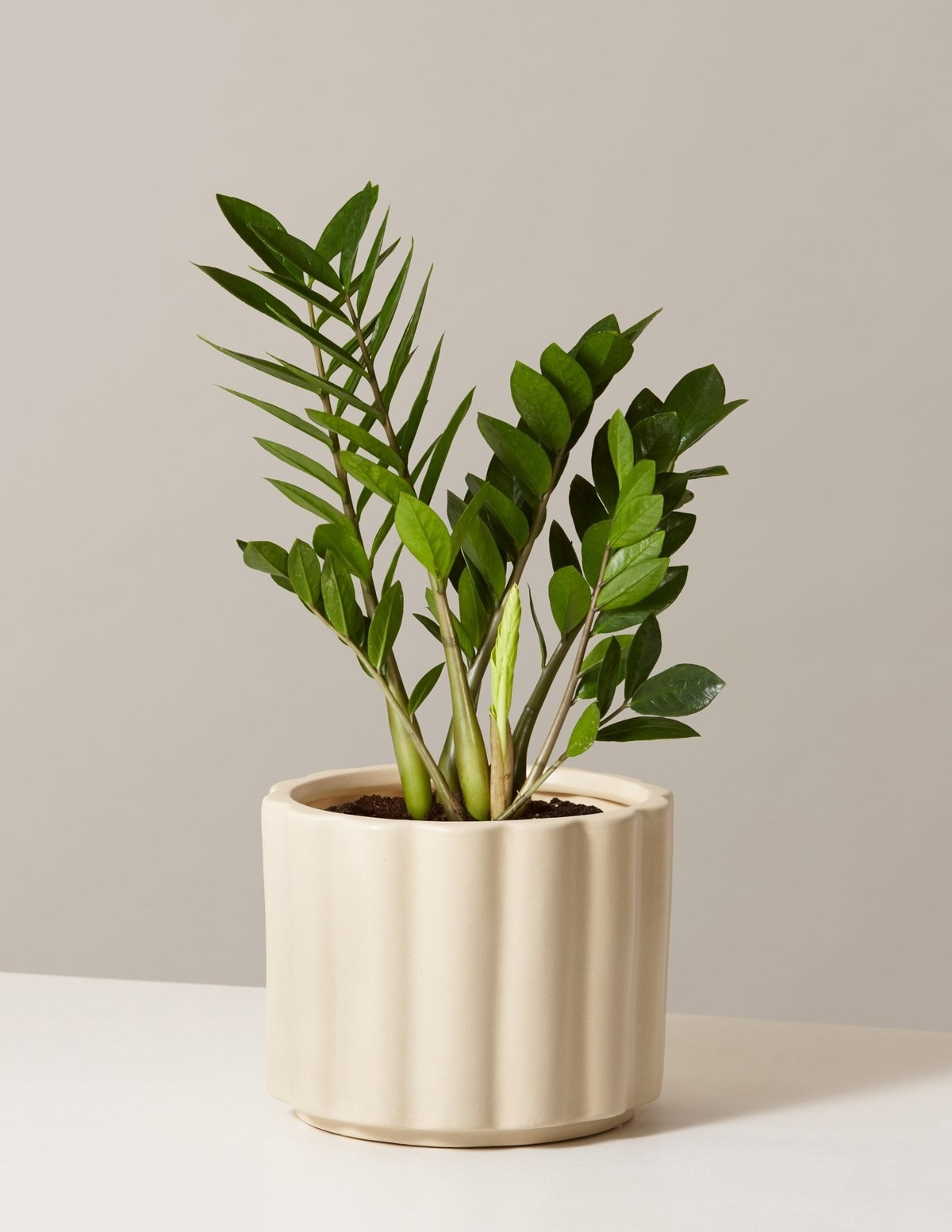 A ZZ plant in a pot