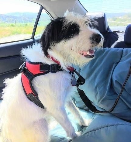 Reviewer's small dog sitting in the back seat with seatbelt harness on