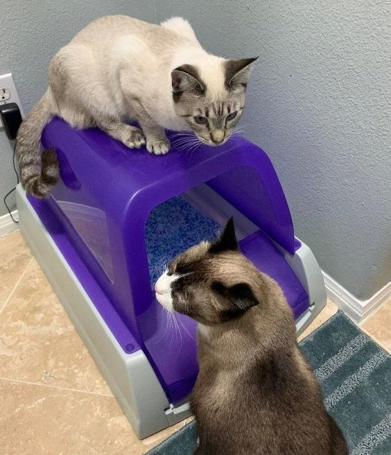Reviewer's cats sitting with the purple litter box