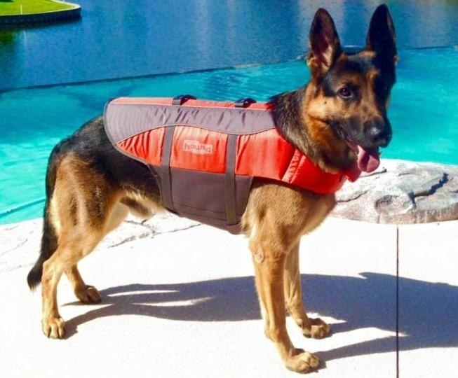 The life vest, which goes over the back with a head hole like a dog sweater, and is secured across the belly with straps