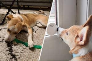 向左:在玩具狗崩矿,向右:狗接触用鼻子智能钟